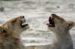 Synchronised yawning