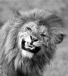 Grimacing lion
